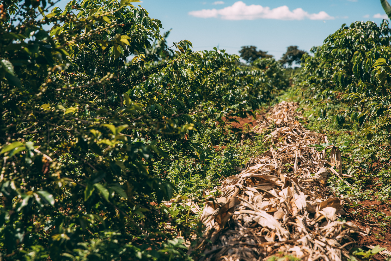 Coverf crops mitigate the impact of climate change on coffee