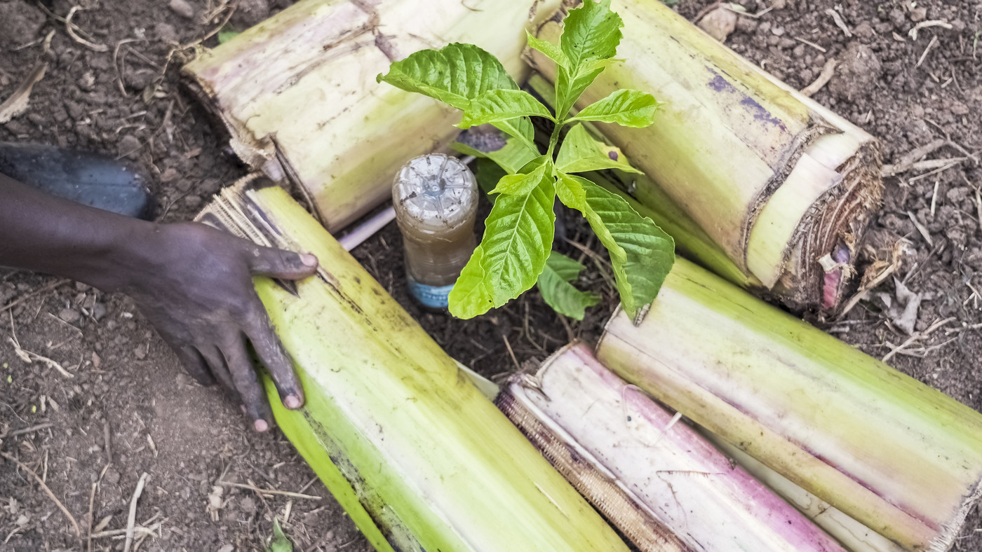coffee plant in combination with climate adaptation practice