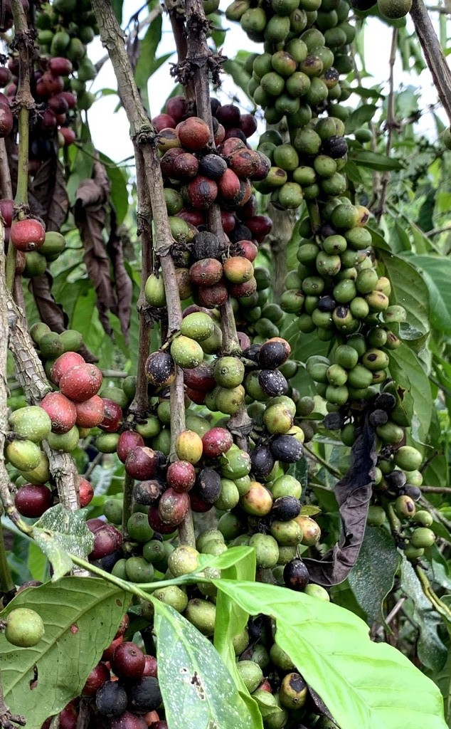 coffee beans affected by climate change in Uganda