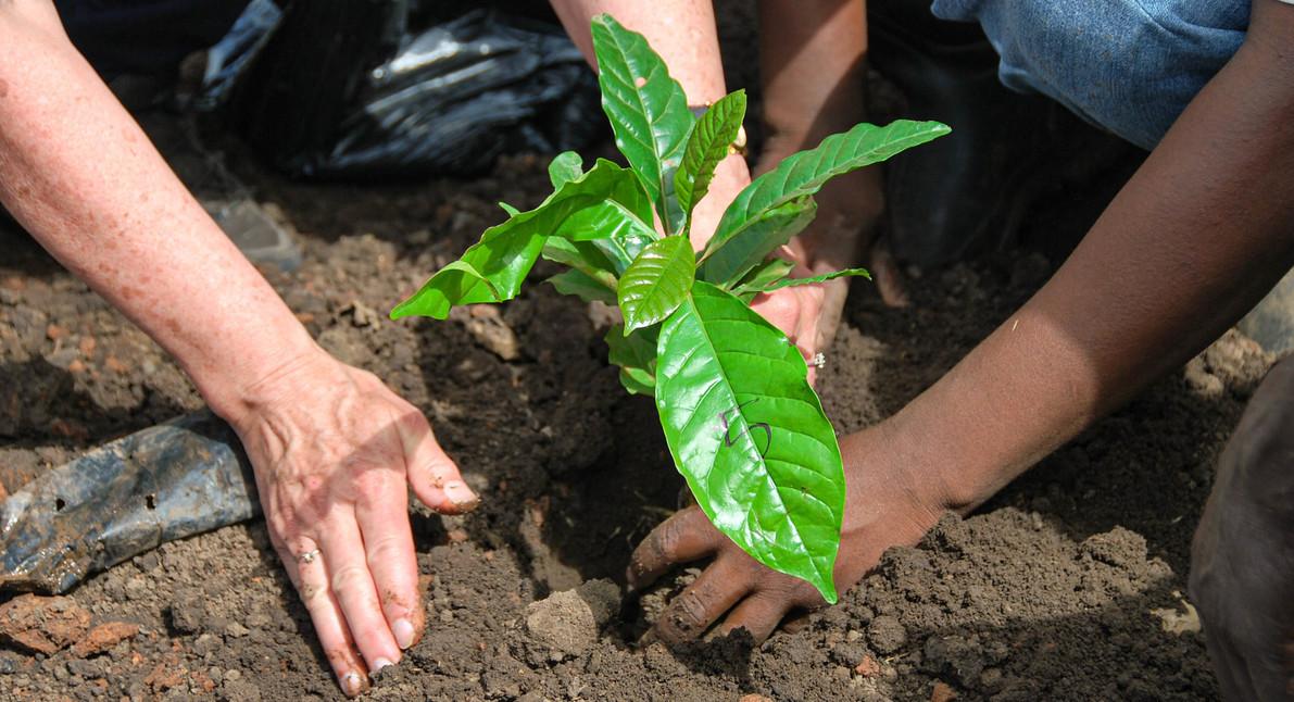 coffee farmers planting coffee tree