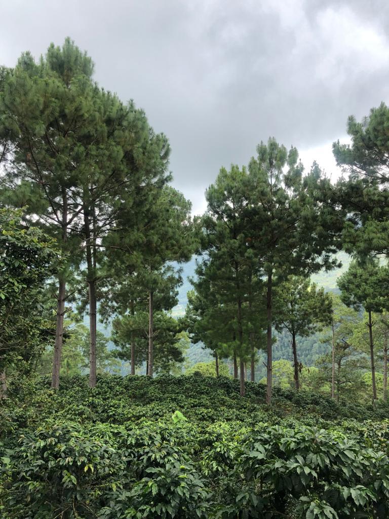 Shade trees next to coffee plot