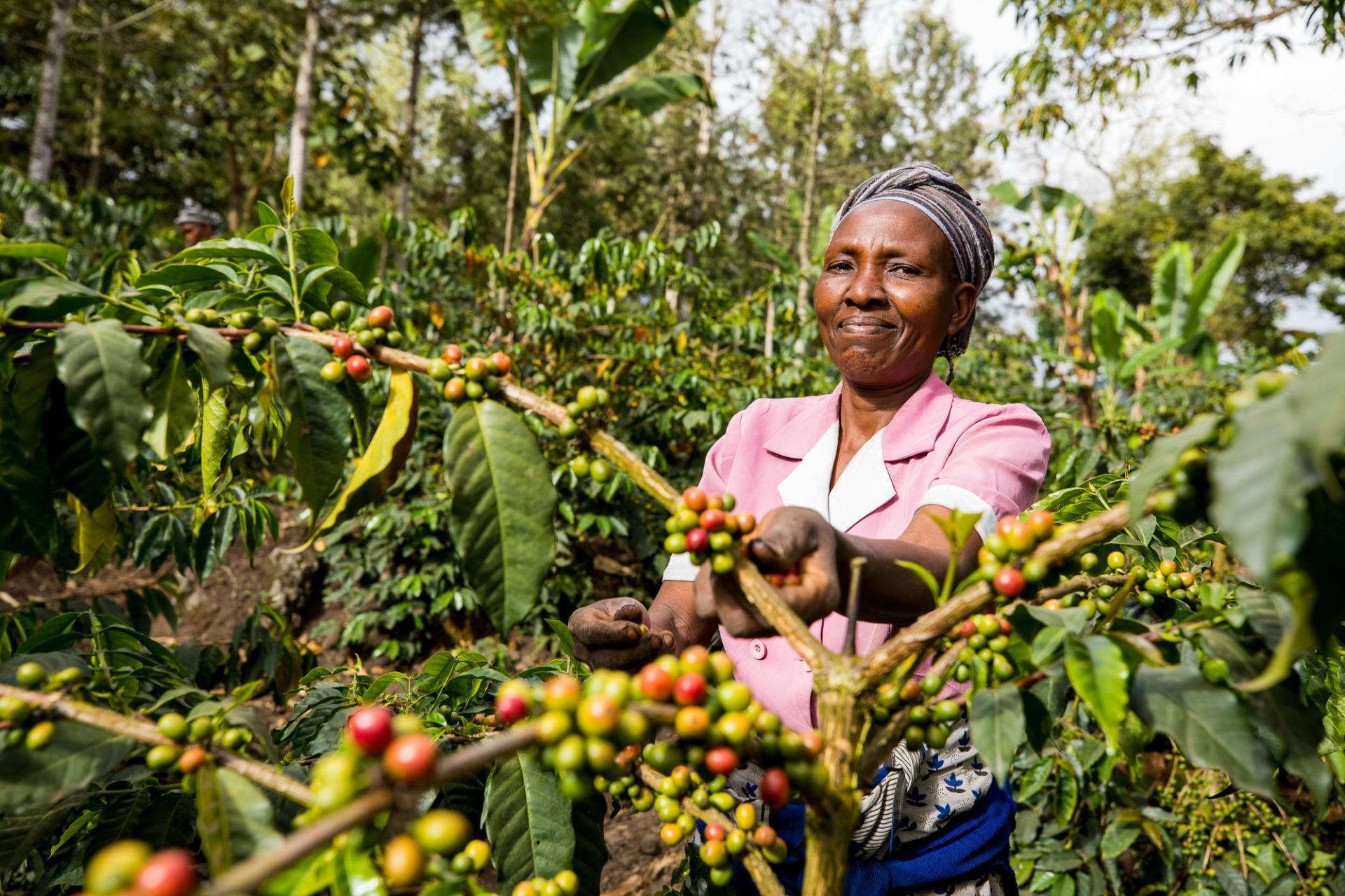 Woman picking coffee cherries