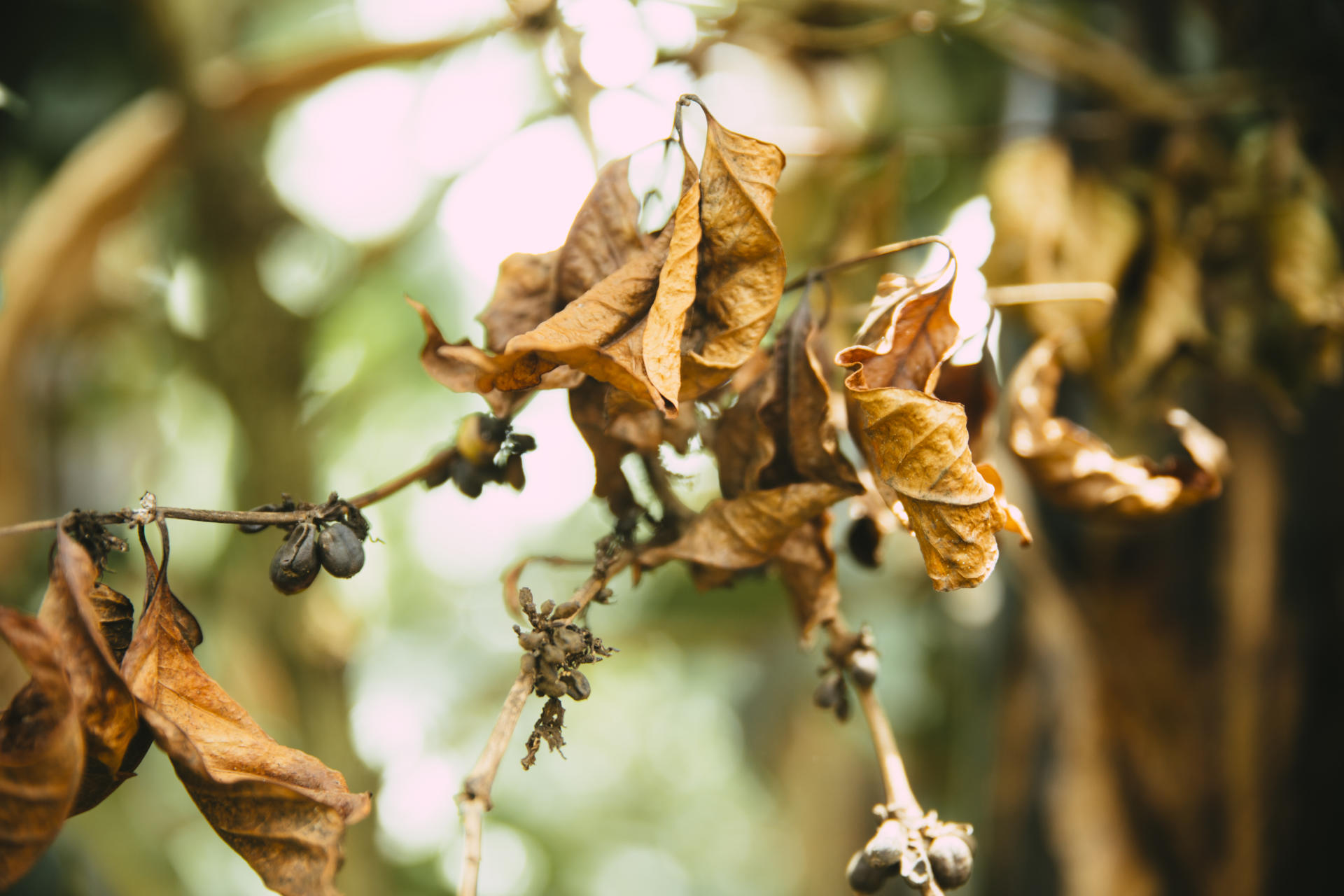 Impact of climate change on coffee